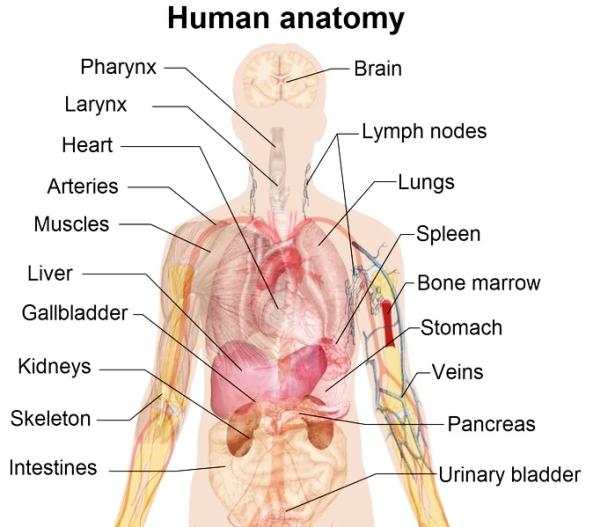 humanorgans