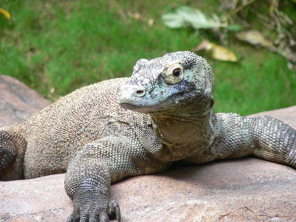 Komodo, hewan reptil langka khas dari Nusa Tenggara.