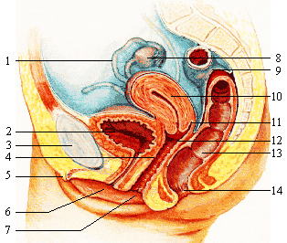 Female_reproductive_system_lateral_nolabel