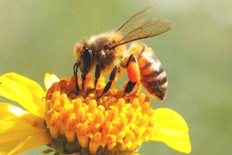 Seekor Lebah Madu