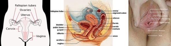 Scheme_female_reproductive_system-en-horz