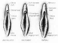 Bentuk Vagina dan Klitoris Saat : Normal, Terangsang, Orgasme
