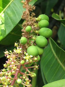 Close-up of the inflorescence and immature fruits of an Alphonso mango tree