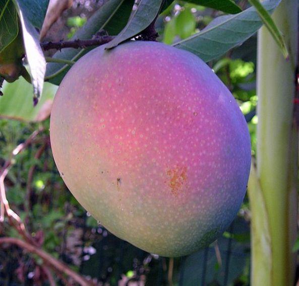 A nearly ripened purple mango, Israel