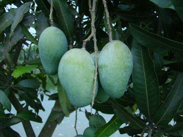 A mango grown in Bangladesh