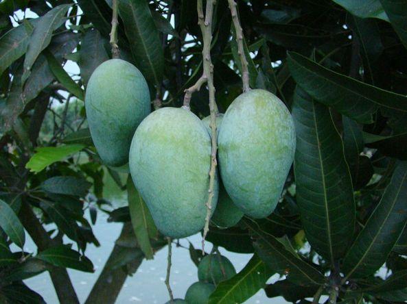 A mango grown in Bangladesh