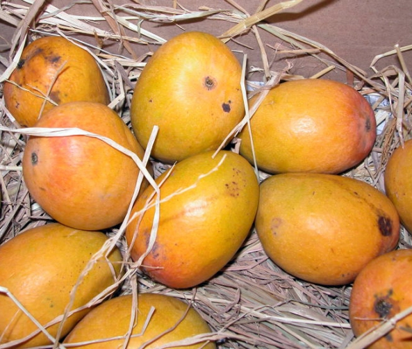 Alphonso mangoes in a box surrounded by straw.