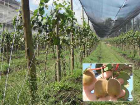 cultivo_kiwi_4
