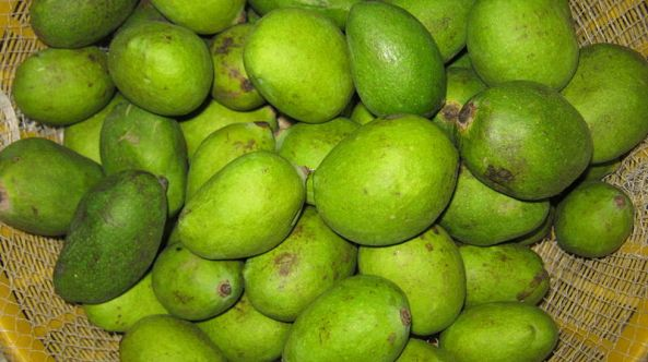 Green Mango of Bangladesh