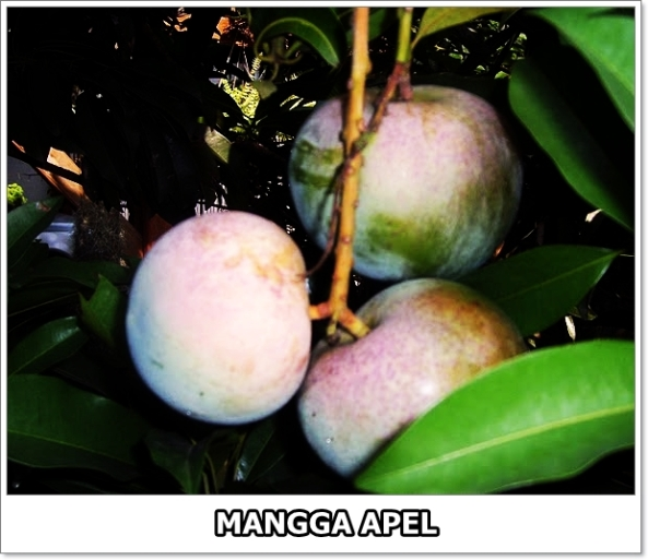Mangga Apel-01
