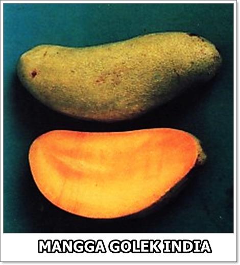 Mangga Golek India-01