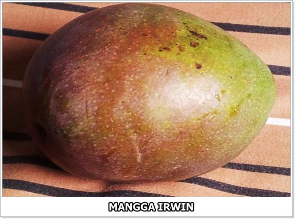 Mangga Irwin-1-01