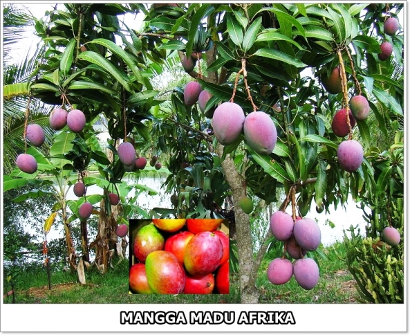 Mangga Madu Afrika-1-02