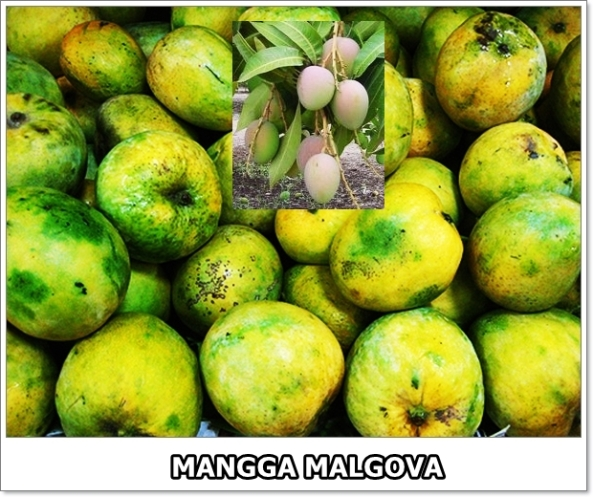 Mangga Malgova-2-02