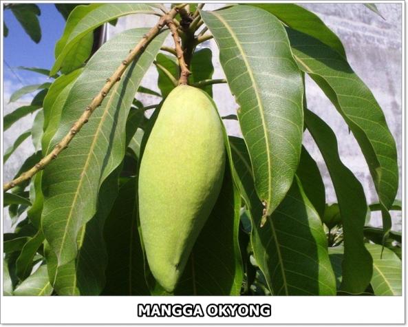 Mangga Okyong-1-01