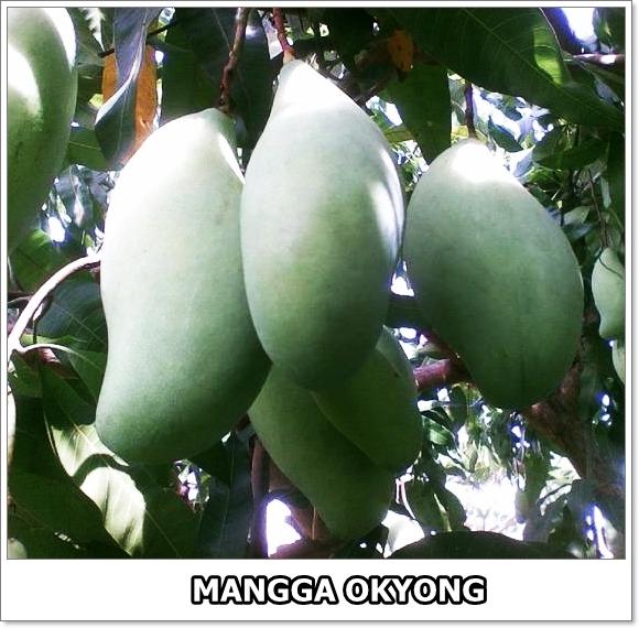 Mangga Okyong-2-01