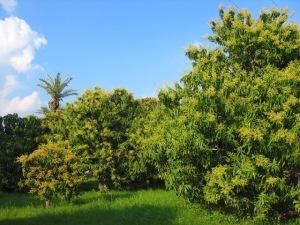 Mango orchard in Multan, Pakistan