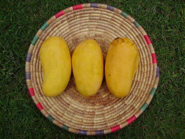 Ripe Sindhri mangoes from Sindh, Pakistan