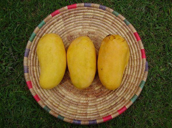 Ripe Sindhri mangoes from Sindh, Pakistan
