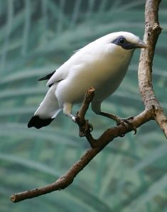 The Bali Starling is found only on Bali and is critically endangered.