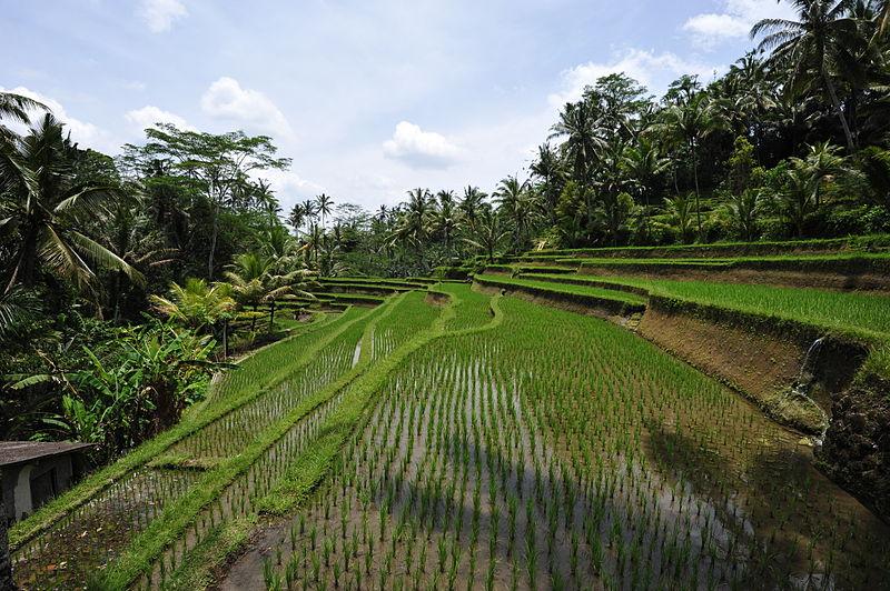 800px-1_bali_rice_terrace_2011