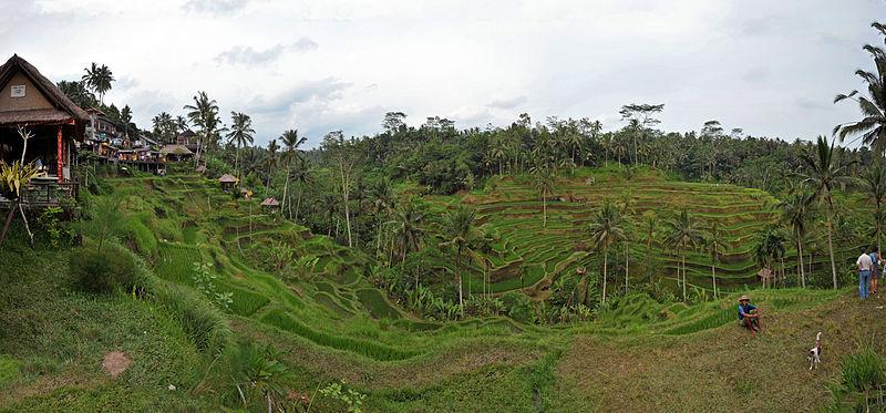 800px-1_Tegalalang_rice_terrace_ubud_bali