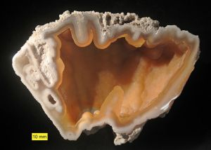Agatized Coral