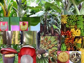 pisang-musa-acuminataxbalbisiana_kombinasi