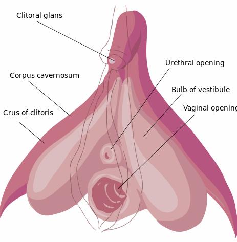 Clitoris_anatomy_labeled-en.svg