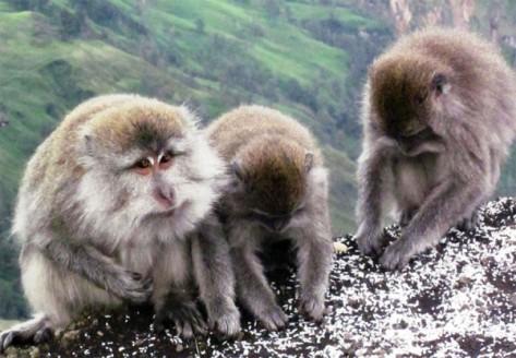 Spesies-monyet-di-Gunung-Rinjani-600x416