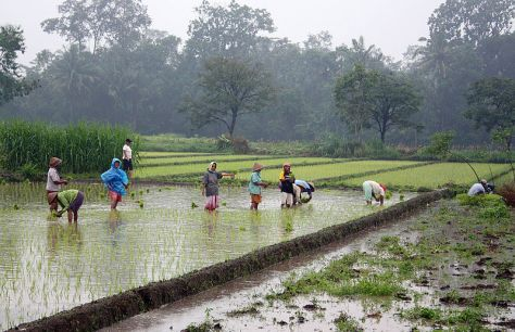 800px-Rice_plantation_in_Java