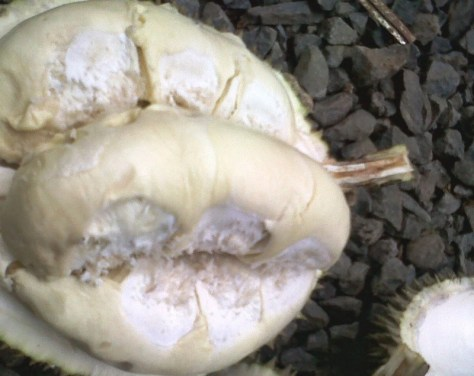 jenis-durian-sunan
