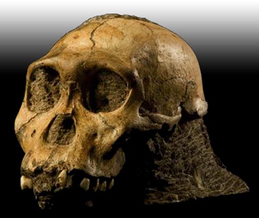 Fosil-manusia-purba-jenis-Homo