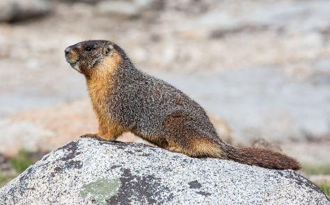 1024px-Marmota_flaviventris_(Yellow_Bellied_Marmot),_Yosemite_NP_-_Diliff