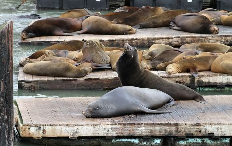 1024px-Sealions_on_Pier_39,_SF,_CA,_jjron_26.03.2012