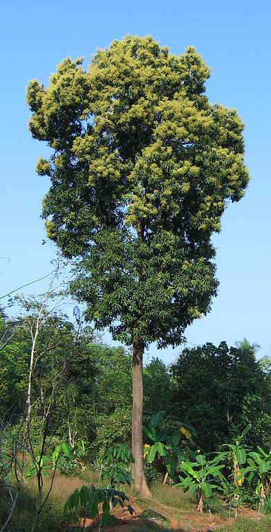 392px-Mango_tree_Kerala_in_full_bloom