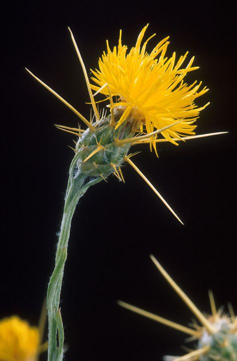 672px-Yellow_star_thistle