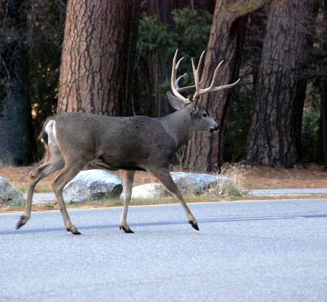 828px-Mule_deer_in_Yosemite_Valley