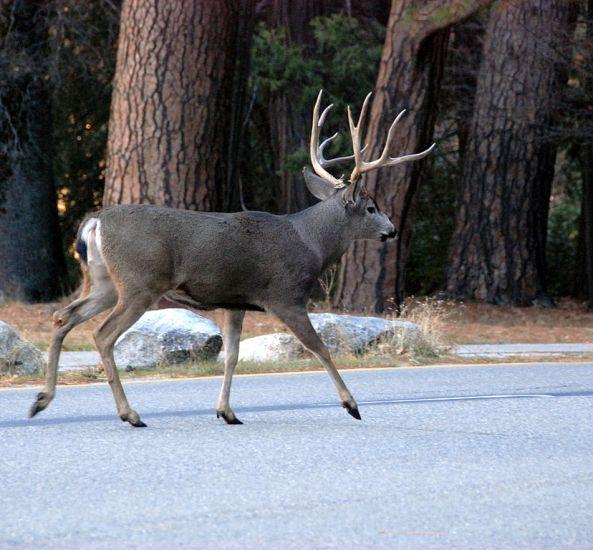 828px-Mule_deer_in_Yosemite_Valley