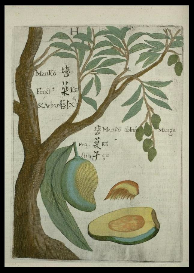 Flora_Sinensis_-_Mango
