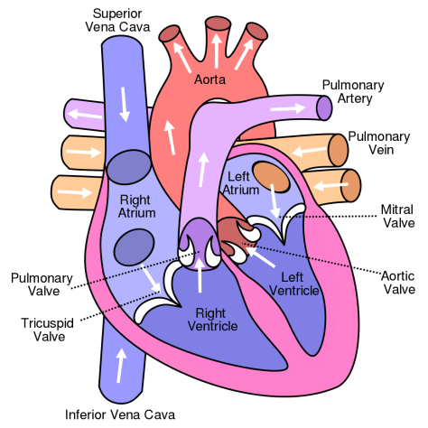 1024px-Diagram_of_the_human_heart_(cropped).svg