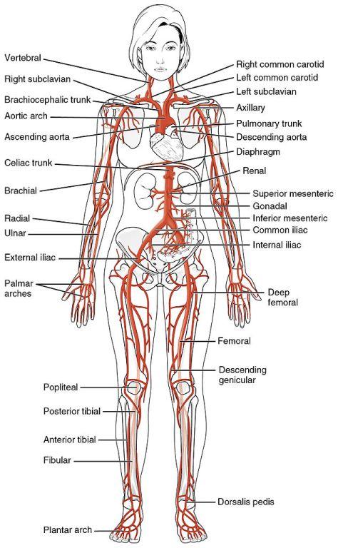 2120_Major_Systemic_Artery