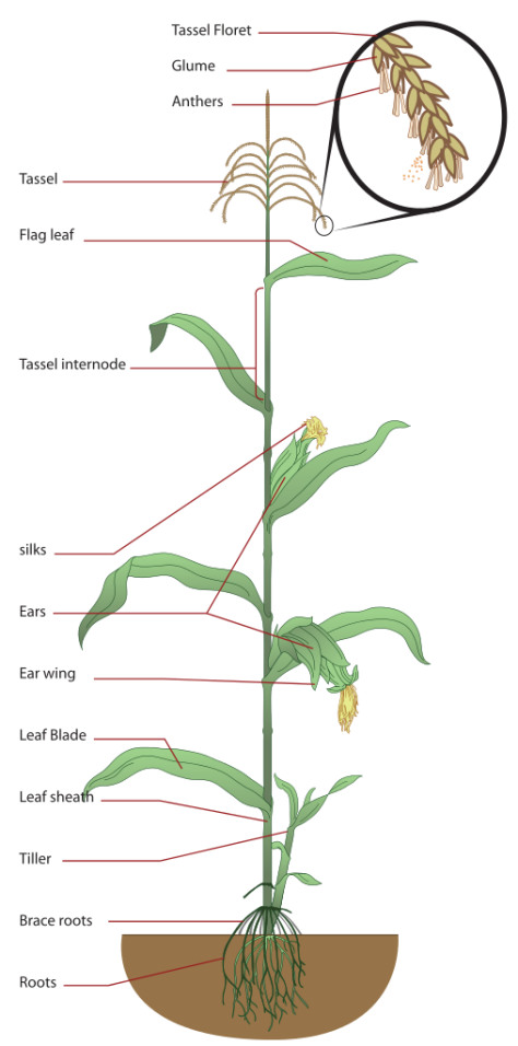 507px-Maize_plant_diagram.svg