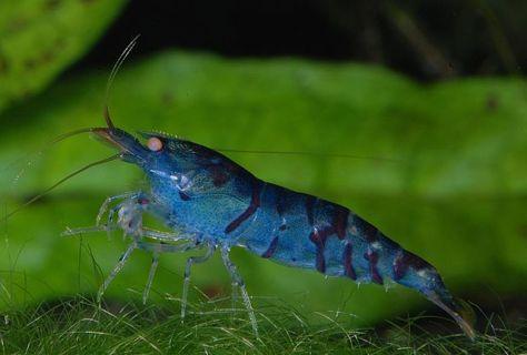 640px-Caridina-cf-cantonensis-blue-tiger