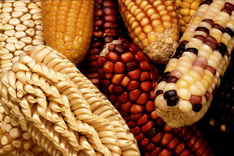 800px-GEM_corn