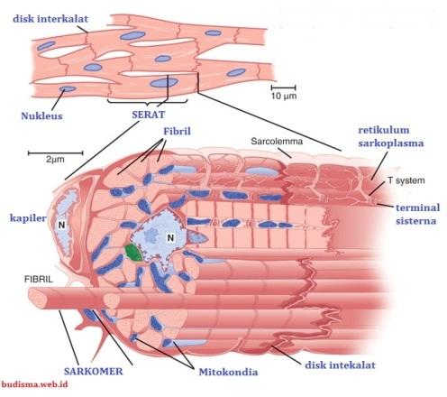 Gambar Struktur otot jantung