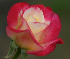 Double_Delight_(Tudor)_Rose