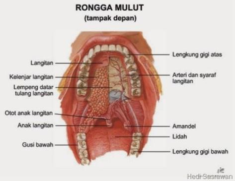 gambar anatomi mulut[11]