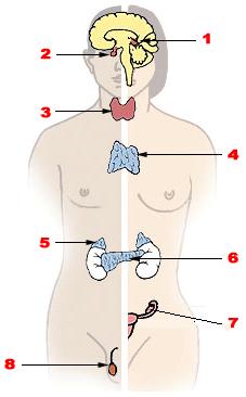 Illu_endocrine_system