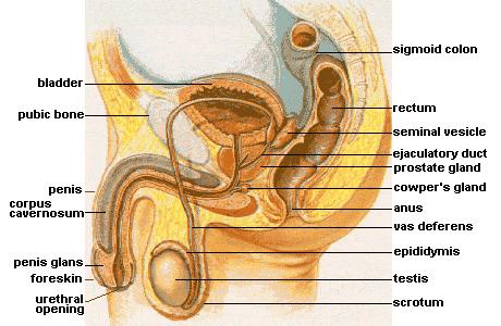 Male_anatomy